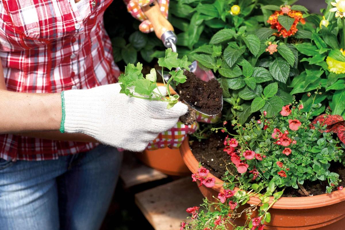 replantare plante de mici dimensiuni