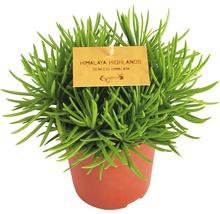 FloraSelf Senecio himalaya h 15-20 cm, ghiveci Ø 10,5 cm