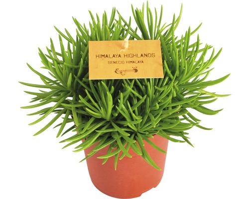 FloraSelf Senecio himalaya H 15-20 cm ghiveci Ø 10,5 cm