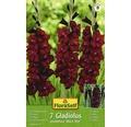 Bulb gladiola FloraSelf 'Black Star', 7 buc.