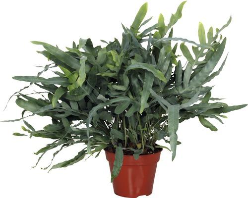 Ferigă FloraSelf Phlebodium aureum H 30-40 cm ghiveci Ø 17 cm