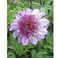 Bulb dalie FloraSelf 'Dad´s Favourite'