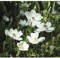 Bulb anemona FloraSelf 'The Bride', 15 buc.