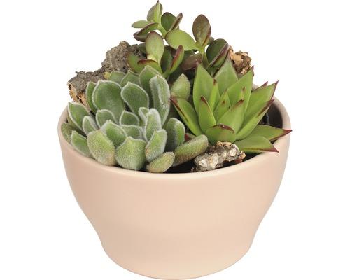 Aranjament plante suculente in ghiveci roz Ø 15 cm