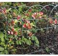 Gard decorativ arcuit Keiserthal 0,4x10 m verde