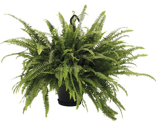 Feriga FloraSelf Nephrolepis exaltata 'Green Lady' H 50-55 cm ghiveci Ø 50 cm