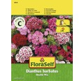 "FloraSelf seminte de garoafa turceasca ""Dianthus barbatus"" Double Mix"