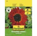 """FloraSelf semințe de floarea-soarelui """"Regina de catifea"""""""