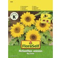 FloraSelf seminte de floarea soarelui Big Smile