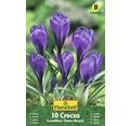 Bulb FloraSelf® branduse 'Flower Record' lila 10 buc
