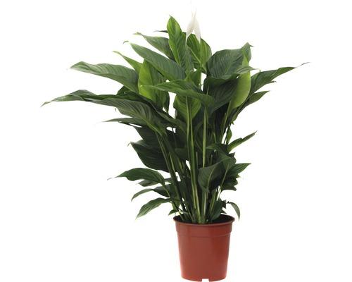 Crinul păcii FloraSelf Spathiphyllum wallisii 'Sweet Lauretta' H 90-105 cm ghiveci Ø 21 cm