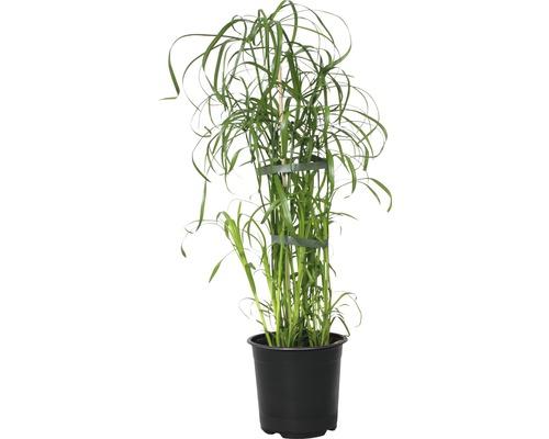 Papirus FloraSelf Cyperus alternifolius H 45-55 cm ghiveci Ø 14 cm