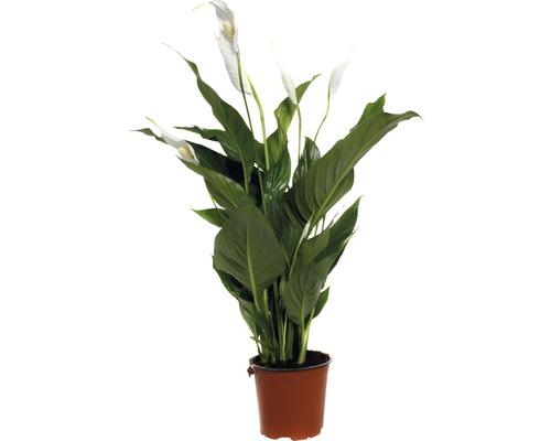 Crinul păcii FloraSelf Spathiphyllum wallisii 'Sweet Silvio' H 70-80 cm ghiveci Ø 14 cm