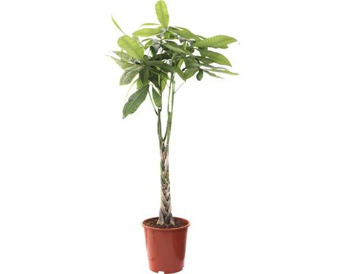 Arborele norocos FloraSelf Pachira aquática H 130-140 cm ghiveci Ø 27 cm