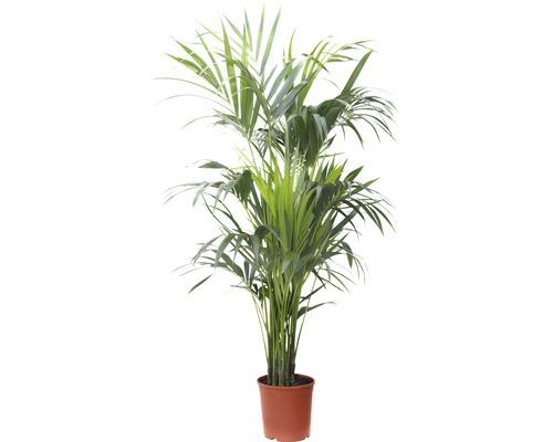 Palmierul plat/ Kentia FloraSelf Howea forsteriana H 180-190 cm ghiveci Ø 27 cm
