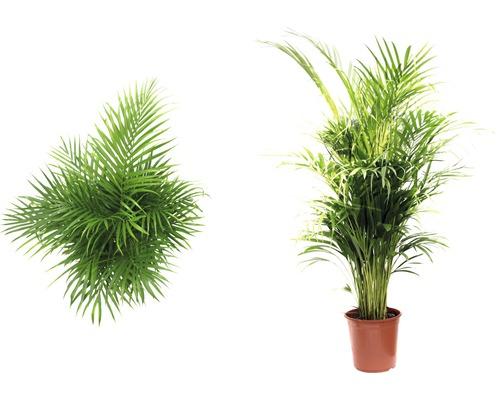 Palmier Areca FloraSelf Dypsis lutescens H 120-135 cm ghiveci Ø 24 cm