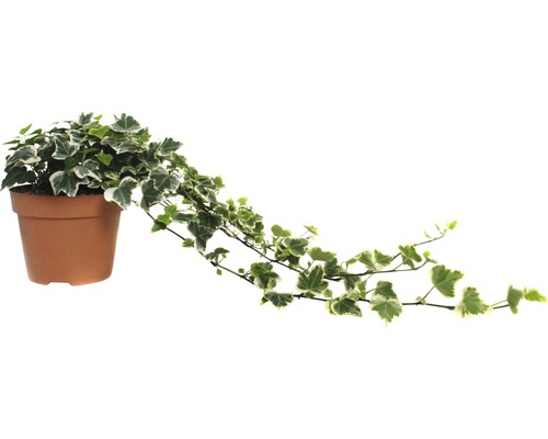 Iedera FloraSelf Hedera helix 'White Wonder' H 20-35 cm ghiveci Ø 13 cm