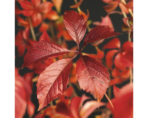 Iedera canadiana FloraSelf Parthenocissus quinquefolia 'Engelmannii' H 50-70 cm Co 2,3 L