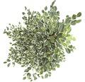 FloraSelf Ficus benjamnia 'Twilight' H 130-140 cm ghiveci Ø 24 cm