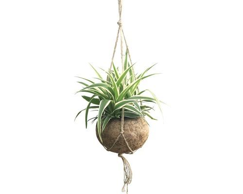 Voalul miresei FloraSelf Chlorophytum comosum H 25-30 cm ghiveci Ø 15 cm
