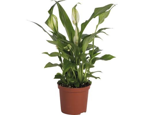 Crinul pacii FloraSelf Spathiphyllum wallisii H 20-25 cm ghiveci Ø 7 cm